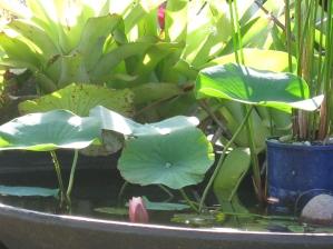 Growing waterlilies