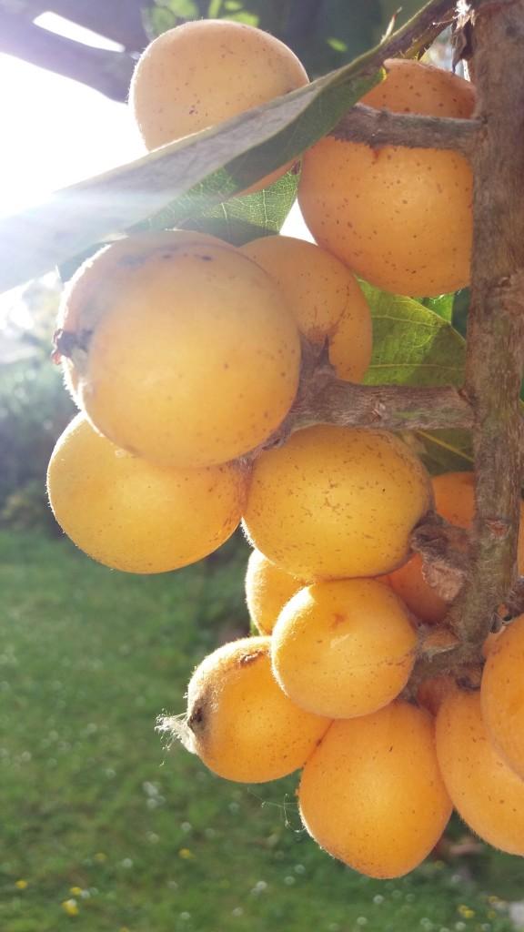 Growing loquats